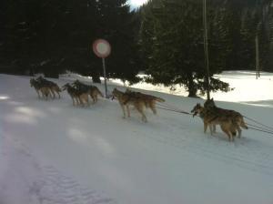 Trineo de perros en la región de St Cergue en Nyon Suiza en donde las temperaturas continúan descendiendo