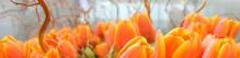cropped-tulipanes-en-ginebra.jpg