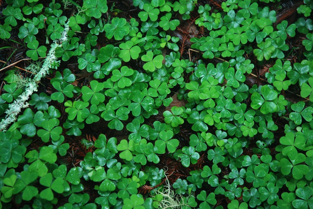 Shamrocks, tréboles foto de K Connor