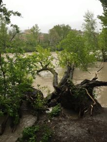 Downed trees in Geneva due to rains. Photo Luc Barthassat